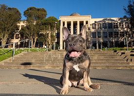 French Bulldog Puppy Sitting in front of SF City College