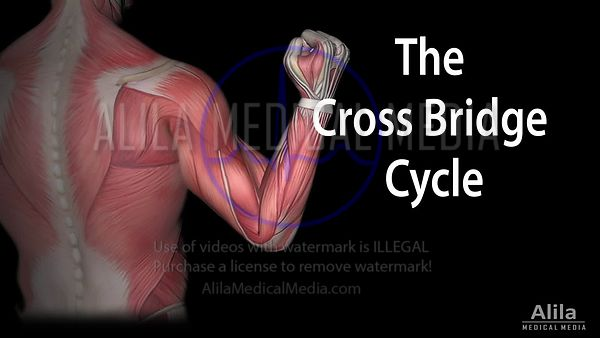 Contraction musculaire - le cycle du pont croisé, animation en Anglais.