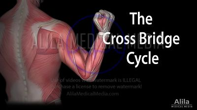 Muscle contraction - the cross bridge cycle, NARRATED animation.