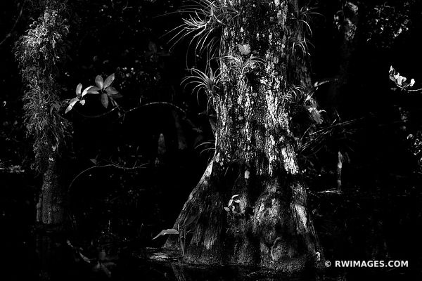 BLACK AND WHITE SWAMP FOREST CYPRESS TREE BROMELIADS BIG CYPRESS NATIONAL PRESERVE EVERGLADES FLORIDA