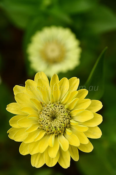 Yellow Zinnia elegans in garden.