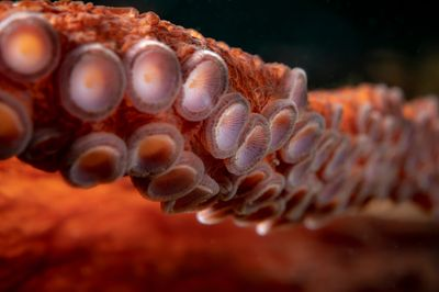 Closeup of Giant Pacific Octopus arm with suckers.