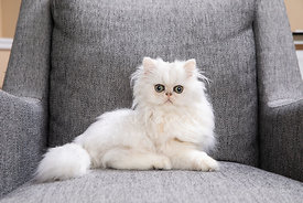 Surprised White Persian Kitten in Chair
