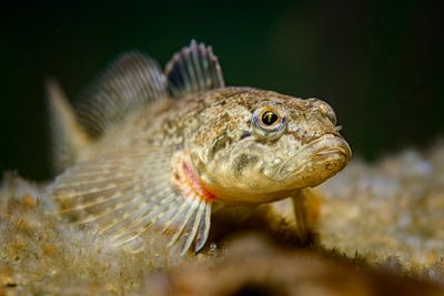 Closeup of a Prickly Sculpin, Cottus asper, resting on its pectoral fins.