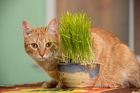 Orange Tabby Cat with Orange Eyes Crouching Behind Cat Grass Container