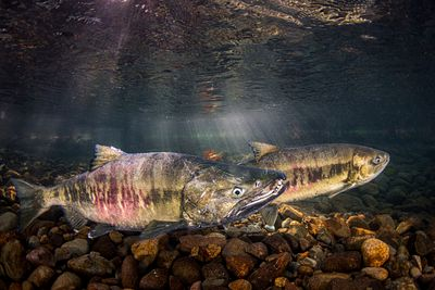 Chum salmon spawning sequence 2-01