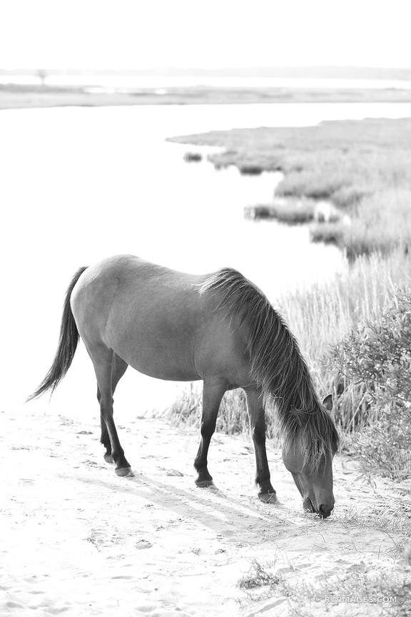 CHINCOTEAGUE BAY WILD HORSE PONY ASSATEAGUE ISLAND NATIONAL SEASHORE MARYLAND BLACK AND WHITE VERTICAL