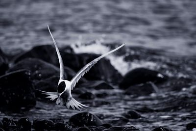 Crested Tern with raised wings on a rocky shoreline