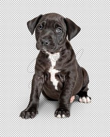 Cute Black Puppy Sitting Looking Forward - Extracted
