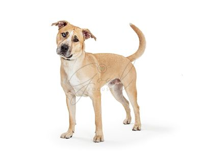 Beautiful Labrador Staffordshire Crossbreed Dog Standing