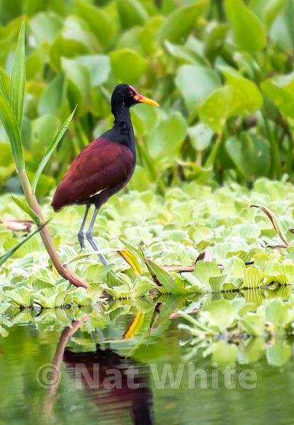 Amazon-_lilly_pad_bird_Date_(Month_DD_YYYY)1_320_sec_at_f_5.6_