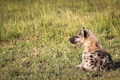 Hyena Lying in African Grass