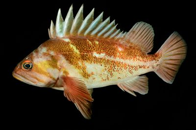 Side profile of Copper Rockfish, Sebastes caurinus, on black background.