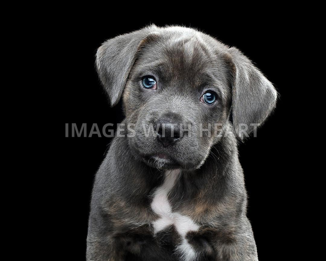 Beautiful Closeup of gray puppy with blue eyes