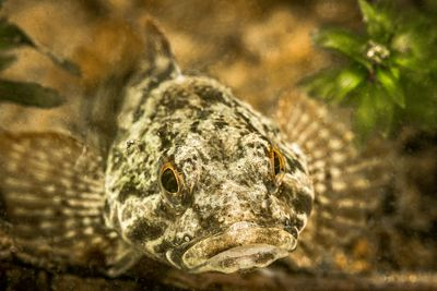Portrait of a Prickly Sculpin, Cottus asper, among lake weeds.
