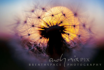Wall Art Decor Photo Print: A view of the sunrise from inside a dandelion II