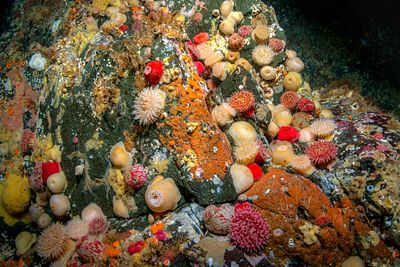 Painted Anemone, which are sometimes called Tealia Anemone, scattered over the rocks deep in Seymour Narrows north of Campbel...