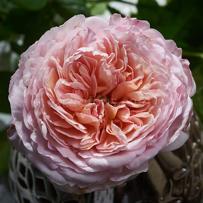 Close up of single Abraham Darby rose.