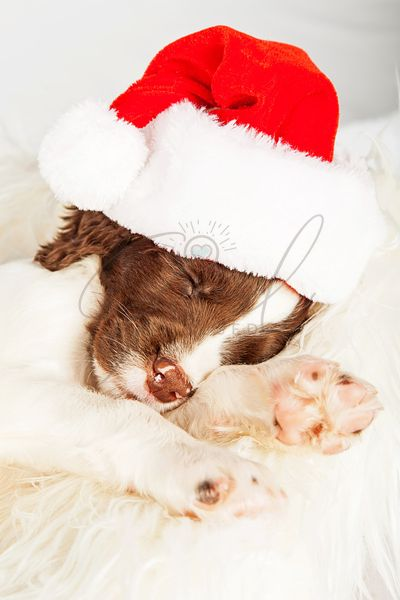 Tired English Springer Spaniel Puppy Wearing Santa Hat While Sleeping