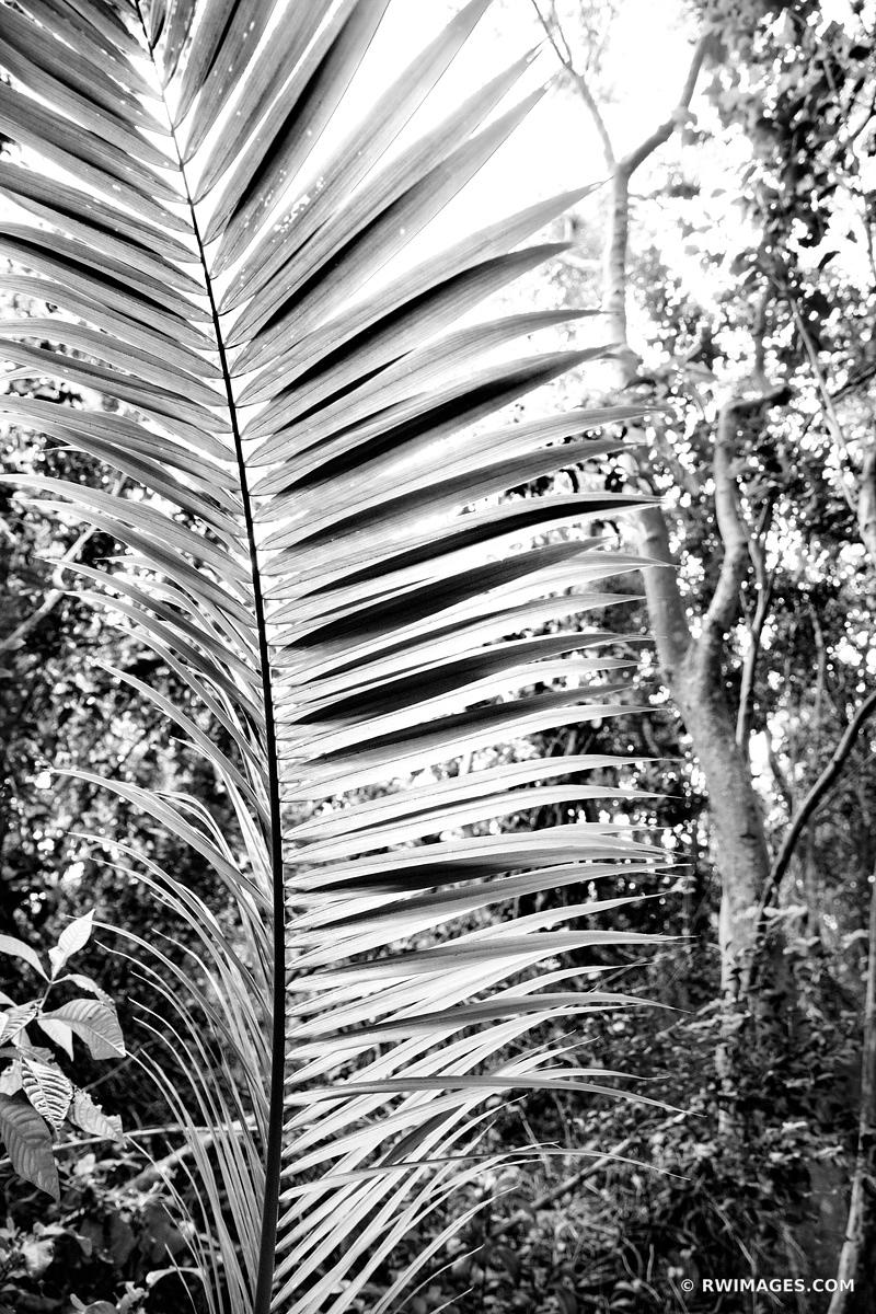 ROYAL PALM GUMBO LIMBO TRAIL EVERGLADES FLORIDA BLACK AND WHITE