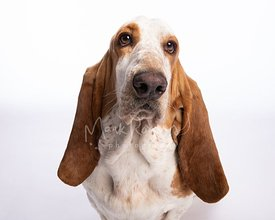 Studio Portrait of Basset Hound