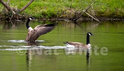 Goose_wings_May_04_2021_NAW1636NAT_WHITE