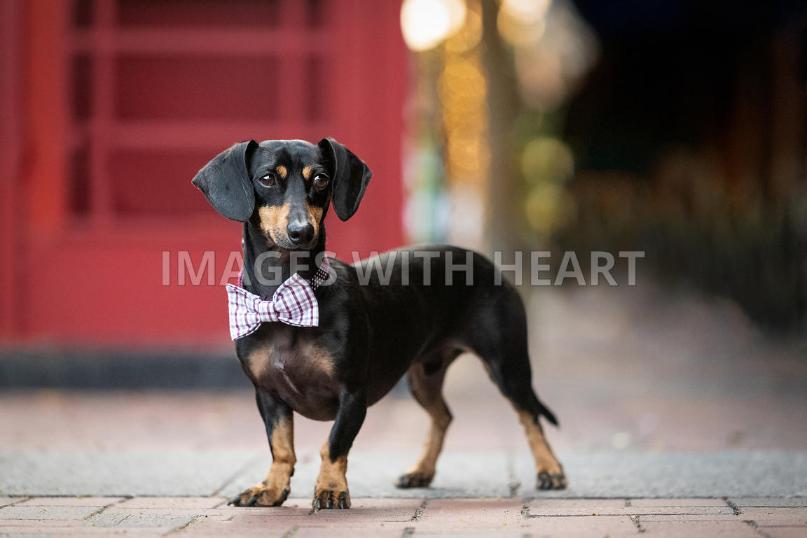 Black and Tan Dachshund wearing bowtie in urban setting