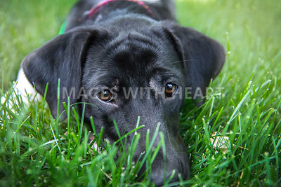 Black Lab lying in green grass looking concerned