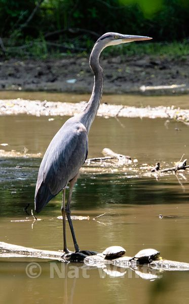 Blue_Herron-Filename_number_suffix-_1May_25_2019_NAT_WHITE
