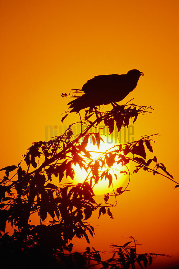Snail Kite at Sunset