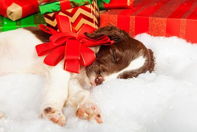 Puppy With Red Bow Sleeping On Fur By Gifts