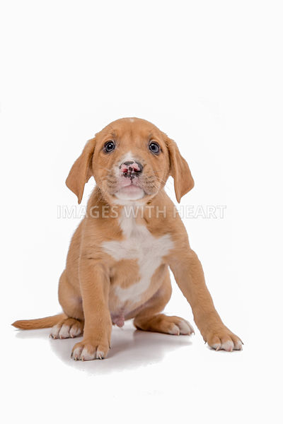 Single puppy in studio with white background