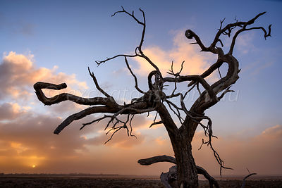 Dead tree with dust storm approaching.