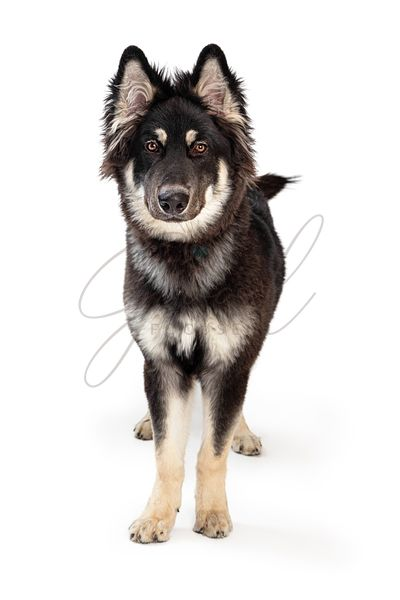 Alaskan Malamute Dog Standing Looking Forward