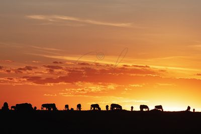 Sunset Silhouette Wildebeest in Africa