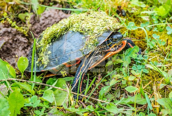 Painted Turtle in Green Bay, Wisconsin