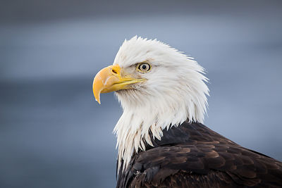 Bald Eagle and Gray Ocean
