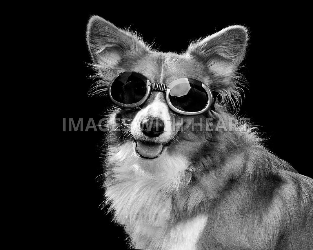 Corgi ready for adventure in sporting goggles