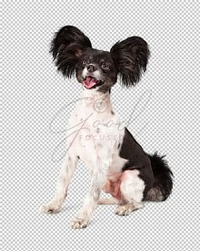 Papillon Dog Big Smile