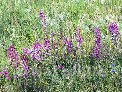 Fireweed_RMNP_-Filename_number_suffix-_1July_24_2019_