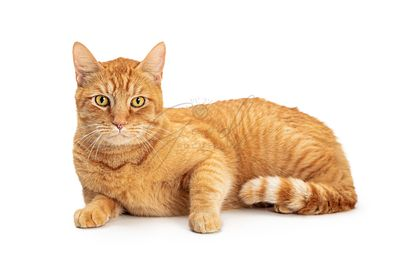 Orange Domestic Shorthair Tabby Cat Lying