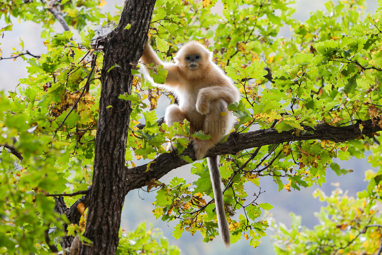 The golden snub-nosed monkey (Rhinopithecus roxellana)