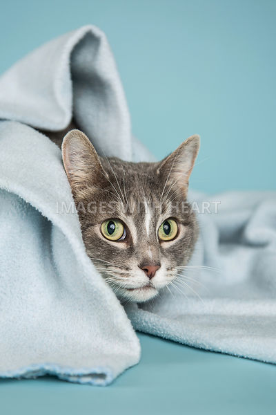 Close Up of Cat Peeking Out From Blue Blanket