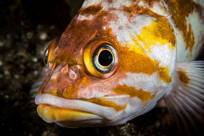 Head shot of Closeup of Copper Rockfish, Sebastes caurinus, showing its sharp cranial spines.