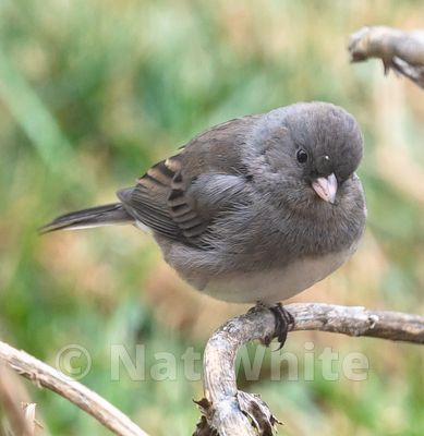 Slate_colored_Junco-3557_January_05_2021_NAT_WHITE