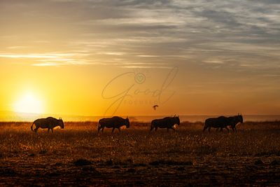 Wildebeest Walking Along the Sunset