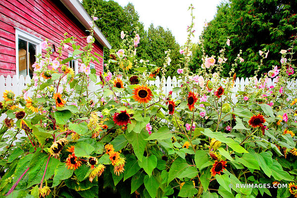 SUMMER SUNFLOWERS BAILEYS HARBOR DOOR COUNTY WISCONSIN COLOR