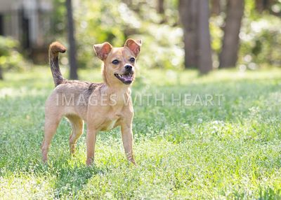 Brown chihuahua outdoor portrait