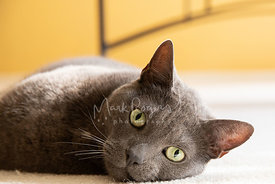 Close-up of Grey Cat with Green Eyes