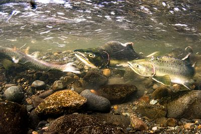 Pink Salmon Spawning sequence 1-09